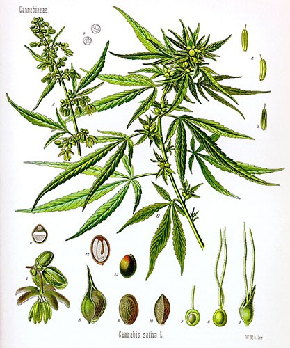 hemp plant botanical drawing