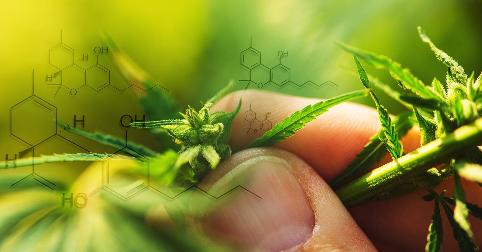 Explaining Cannabinoids Part I: Phytocannabinoids
