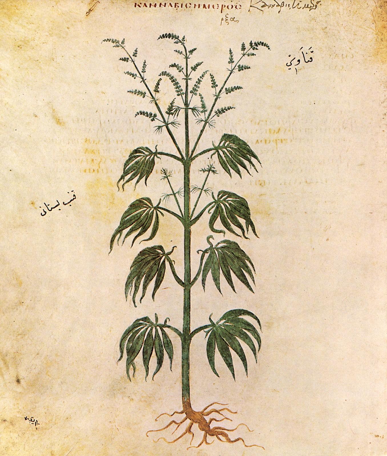 hemp plant illustration