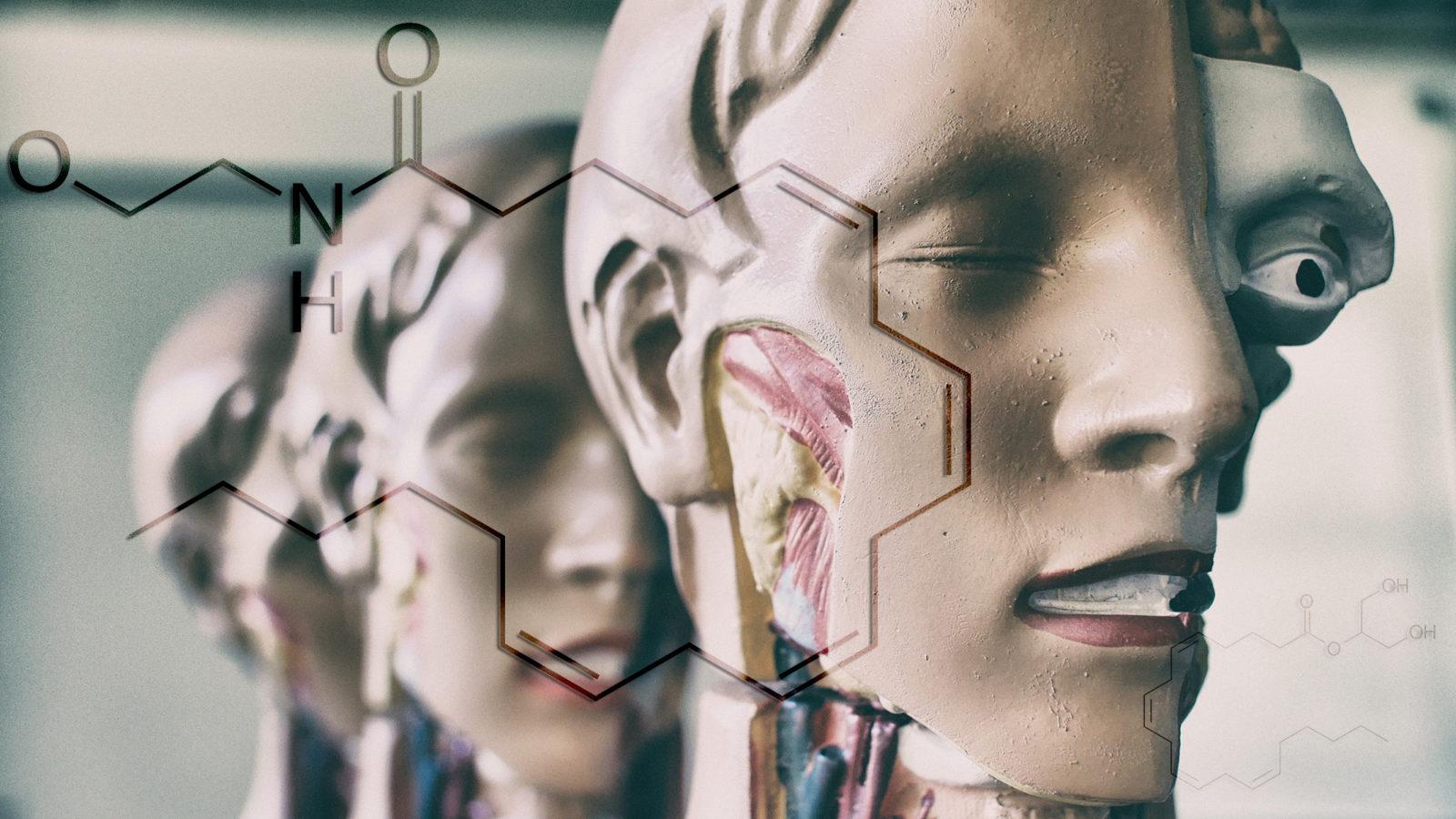 Explaining Cannabinoids Part II: The Endocannabinoid System