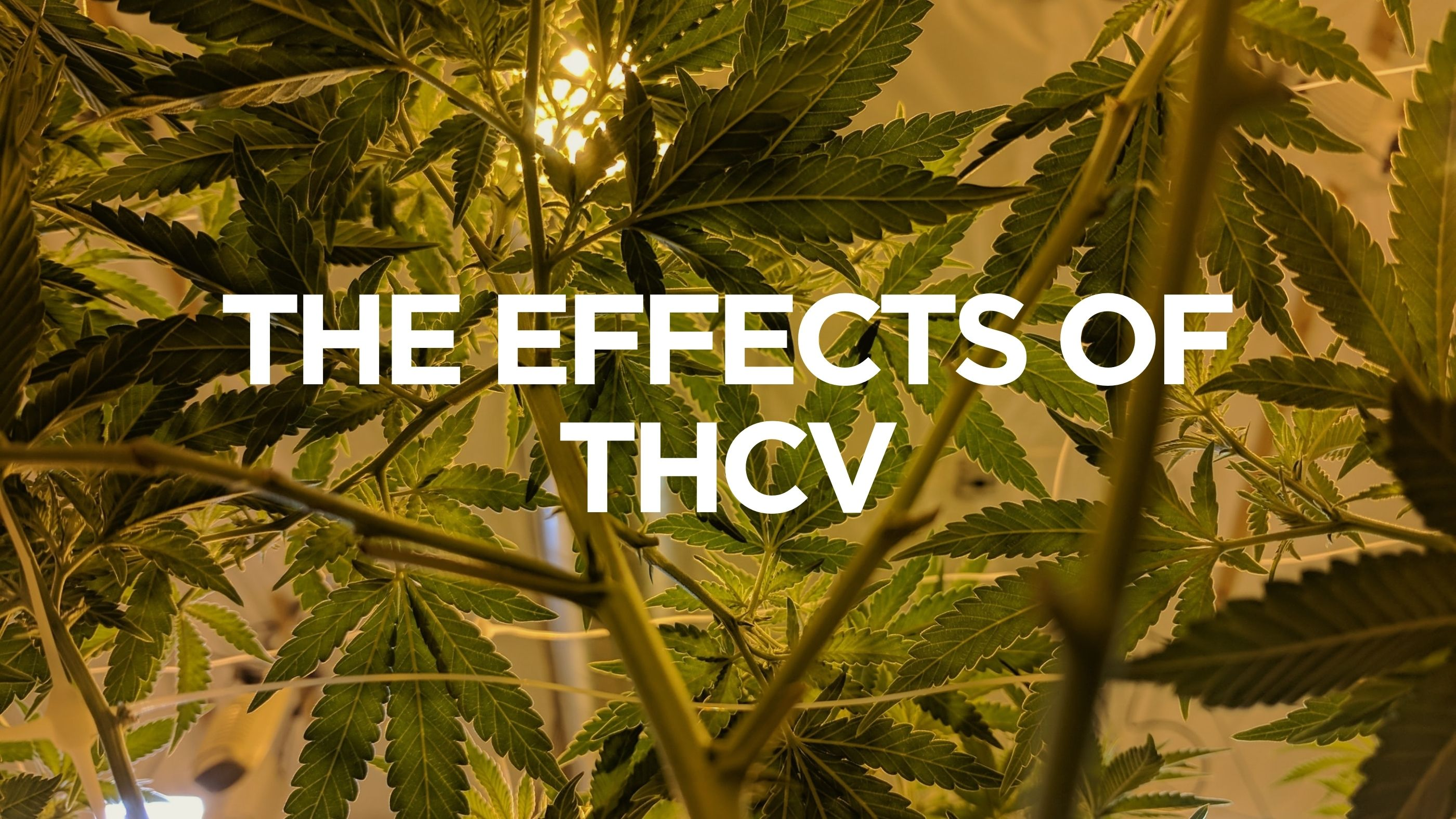 The Effects of THCV