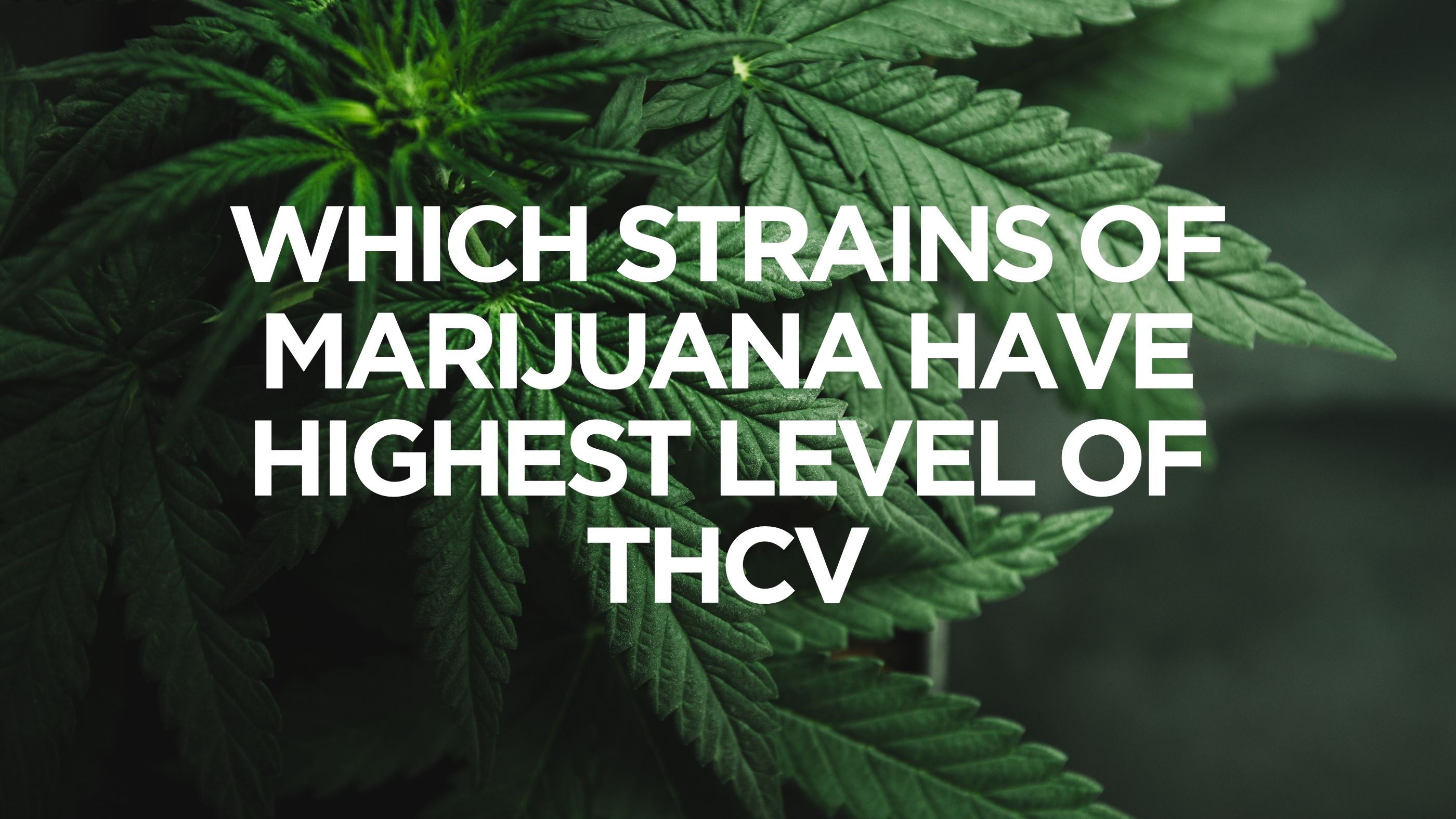 Which Strains of Marijuana Have Highest Level of THCV?